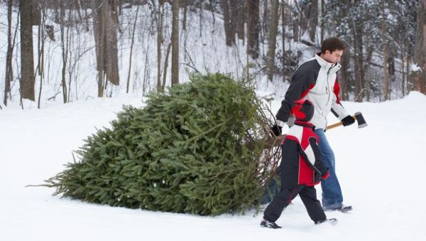 father and son pulling freshly cut christmas tree through the snow.