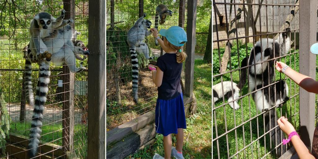 Feeding the lemurs during our special tour