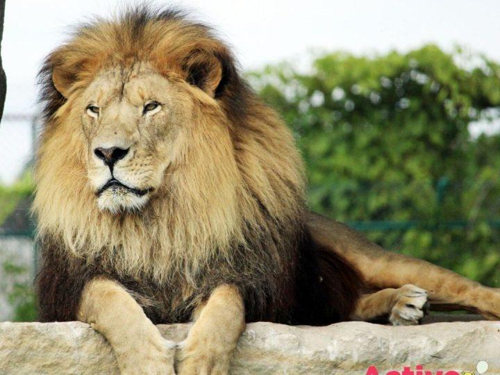 African Lion Safari Opens Their Drive-Thru Experience