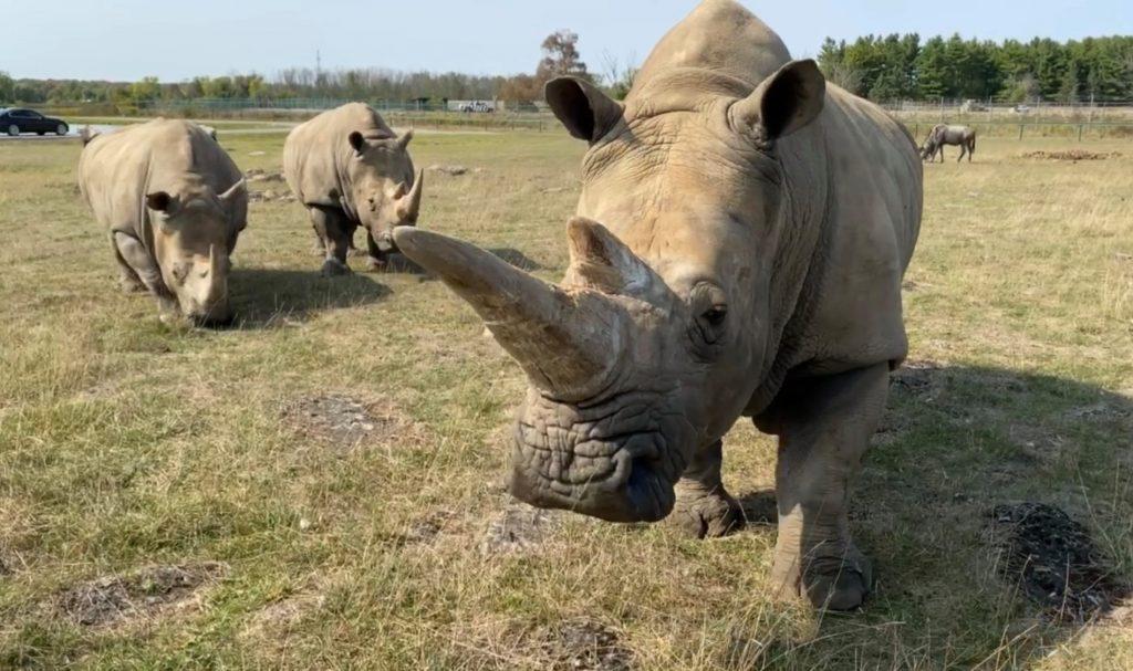 Rhinos at African Lion Safari