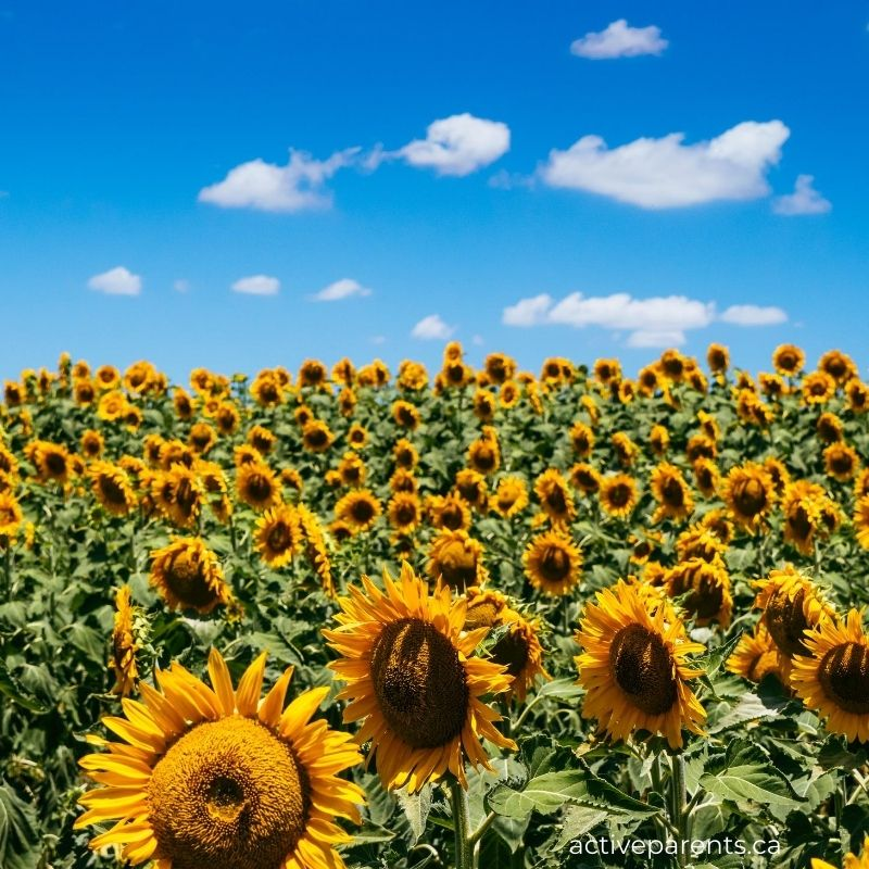 sunflower fields near hamilton and halton