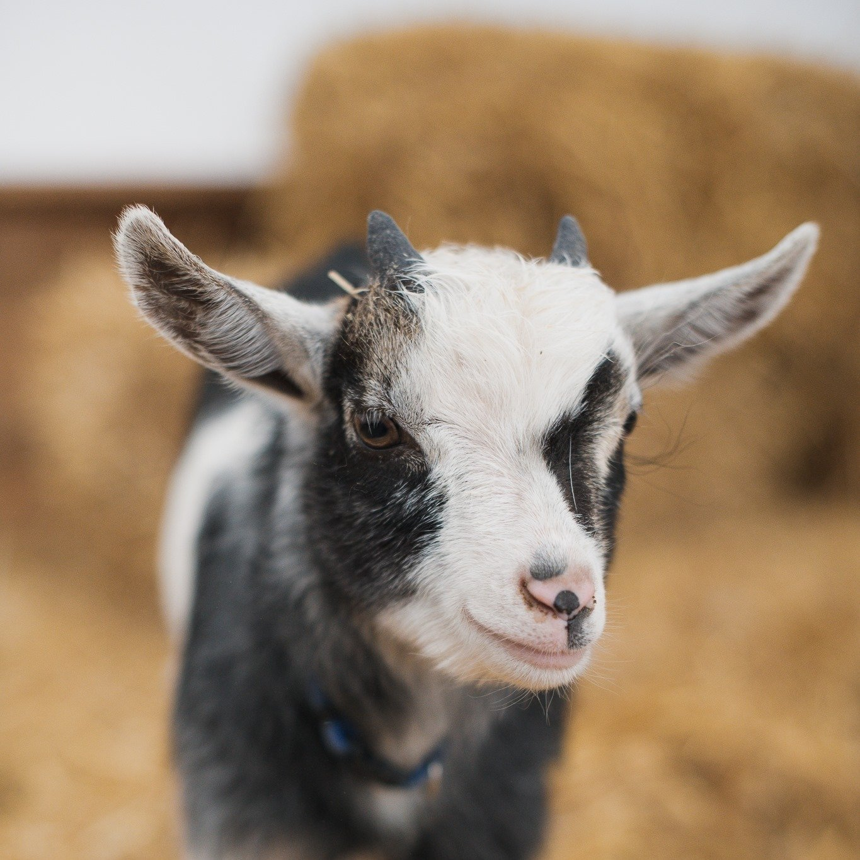goats at triple c farm