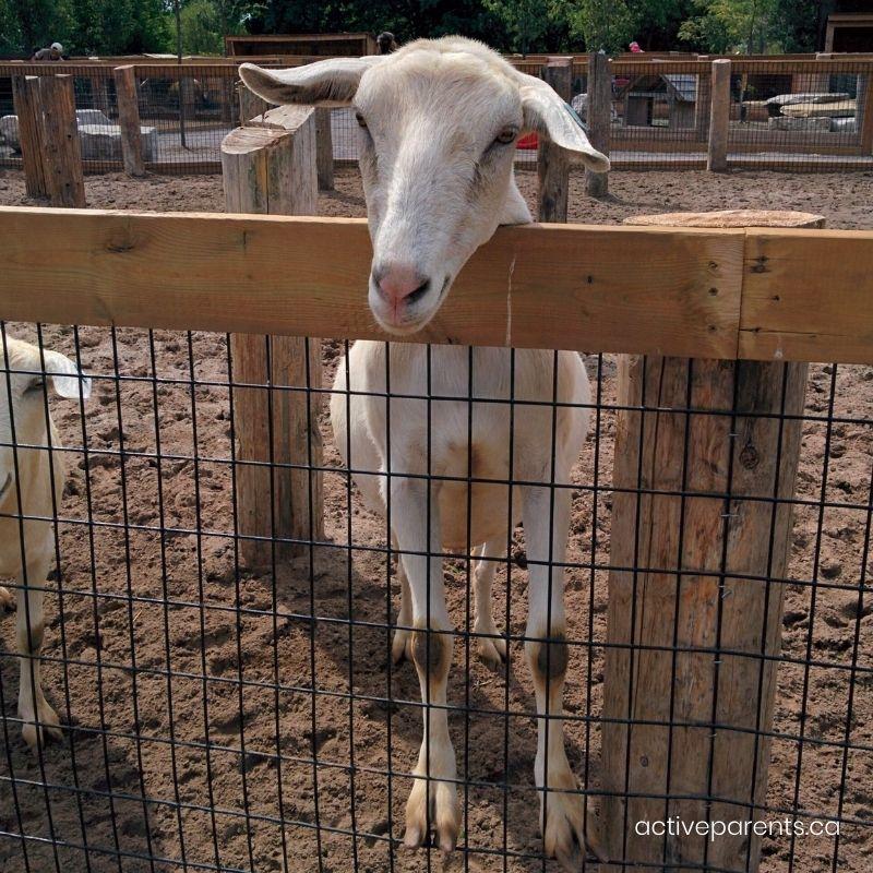 goats at safari niagara